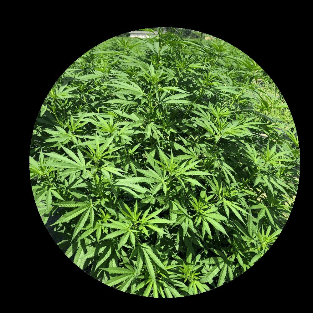 Large Cannabis CBD outdoor plant