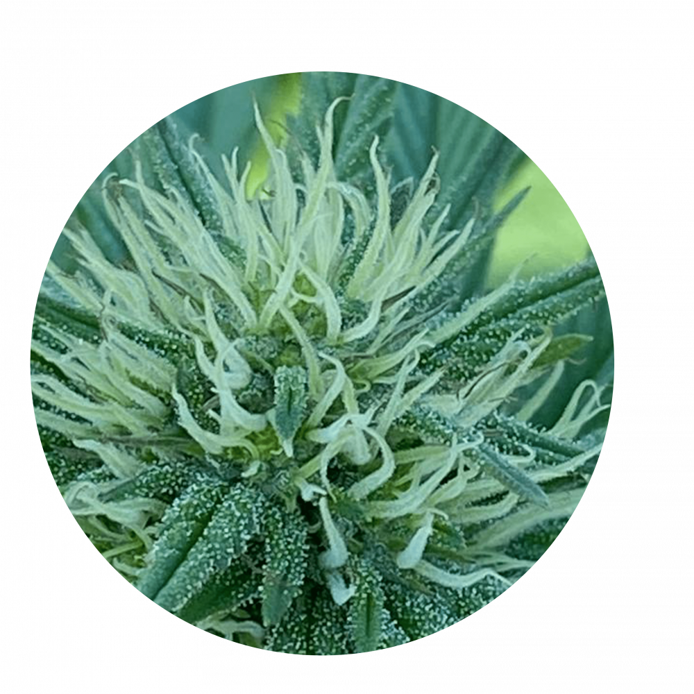 Cannabis CBD Flower